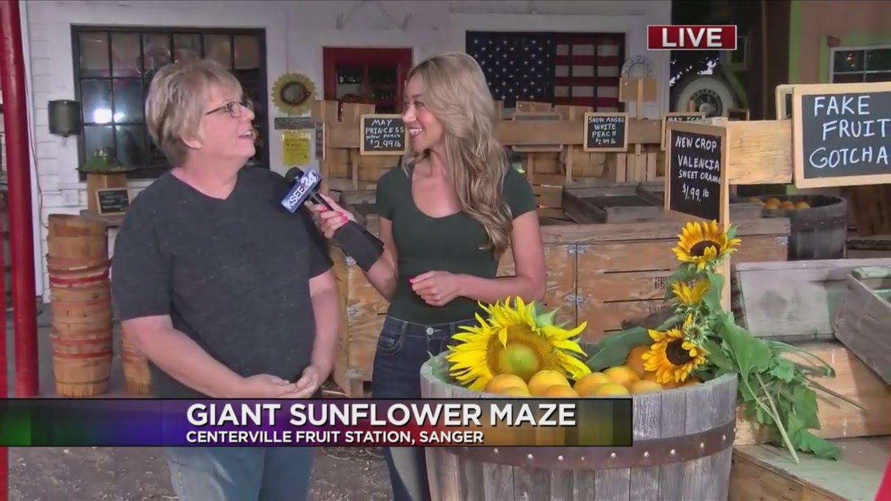 Giant Sunflower Maze in Sanger