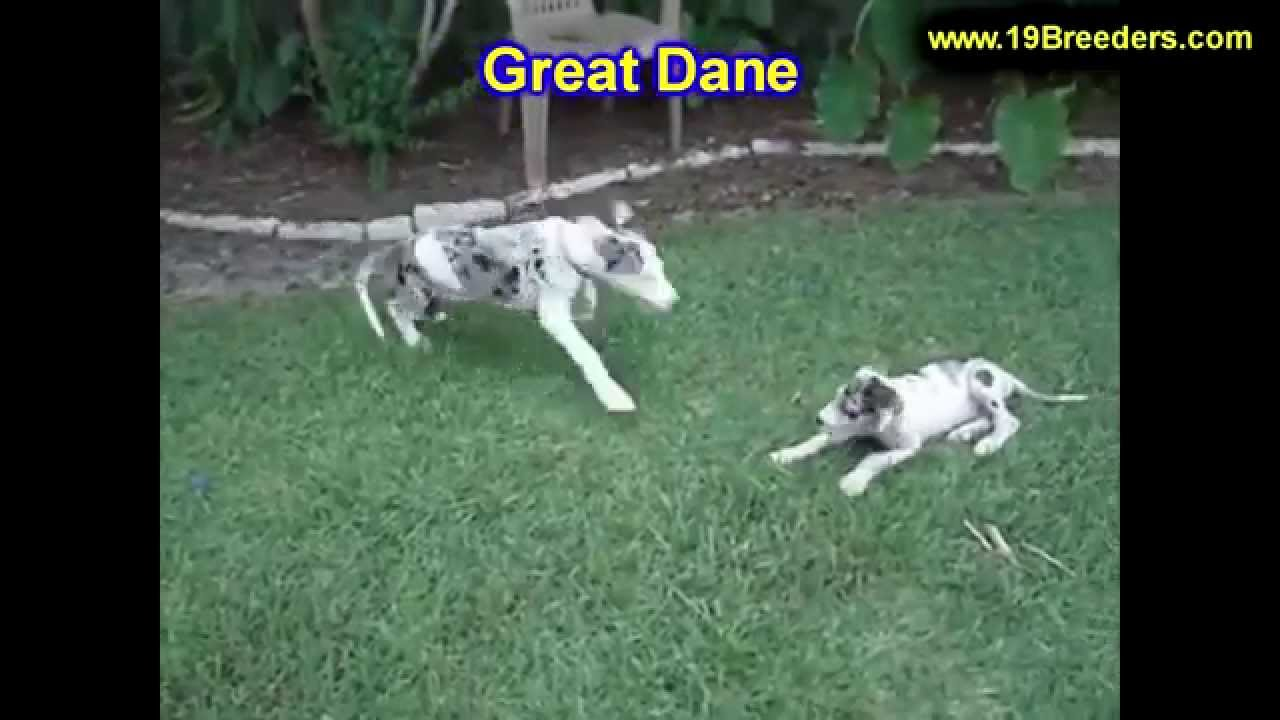 Great Dane Puppies For Sale In Indianapolis Indiana In