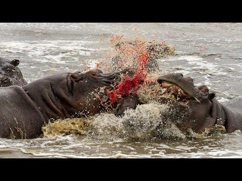 When Hippos Attack