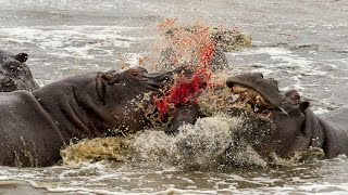 When Hippos Attack