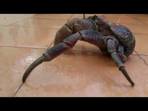 Crushed by Giant COCONUT CRAB