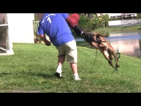 Very Aggressive puppy is back - Bigger, Faster and more Tenacious!