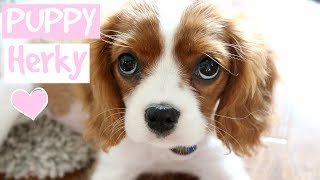 FIRST DAY WITH NEW PUPPY HERKY | Cavalier King Charles