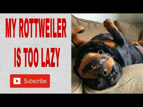 My Rottweiler is too lazy [ Max ]