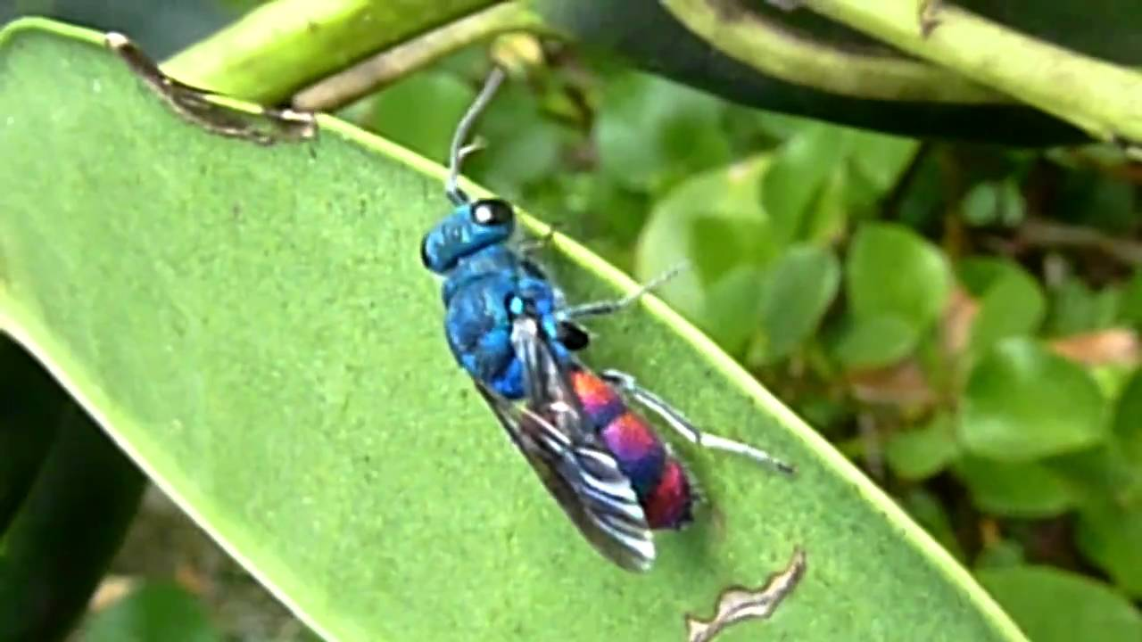 metallic blue and red wasp youtube
