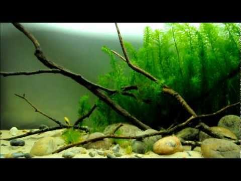 North & Central American cichlids in the display aquarium (episode 1)