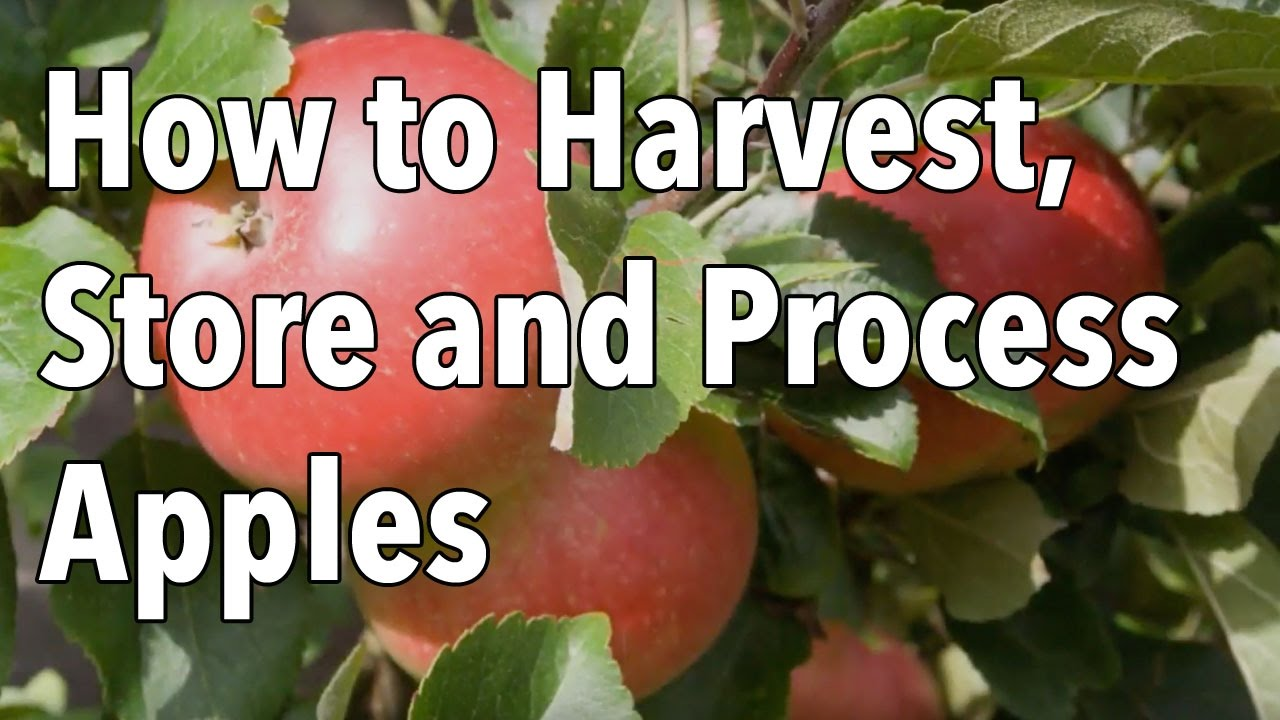 Apple Fruit Diseases Appearing At Harvest