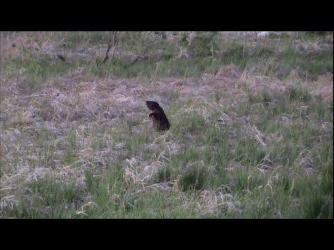Видео-охота на бобров. Весна.