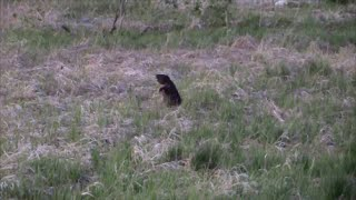 Видео охота на бобров. Весна.