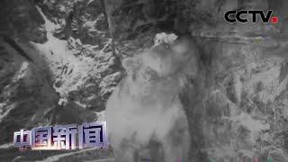 [中国新闻] 新疆:红外相机拍到乌鲁木齐市近郊棕熊出没 | CCTV中文国际
