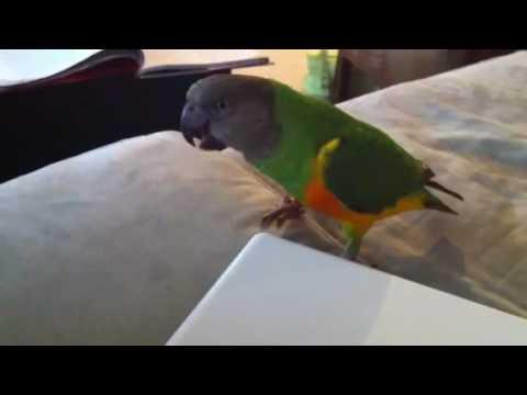 Senegal Parrot With Attitude