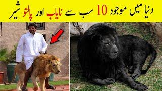 10 Most Unique Lions in the World | Pet Lion (Urdu/Hindi)
