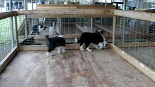 2010年2月25日生まれブルー&ホワイト(オス)、ブラック&ホワイト(オ...
