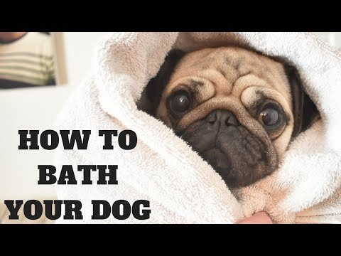 How to bath your dog with Rupert the Pug - Professional dog grooming salon tutorial
