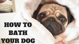 How to bath your dog with Rupert the Pug  Professional dog grooming salon tutorial
