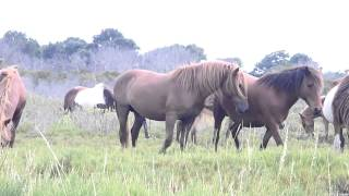 Wild Horses Mating