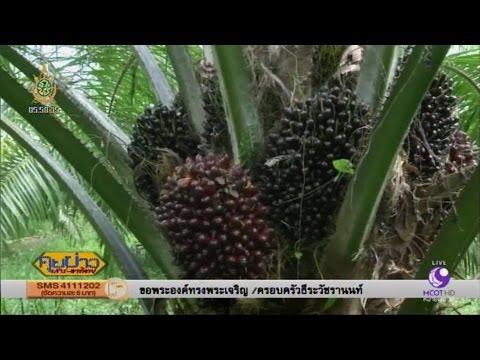 เกษตรสร้างชาติ : นักวิจัย มอ.พัฒนาพันธุ์ปาล์มน้ำมันให้ผลผลิตสูง | สำนักข่าวไทย อสมท