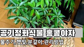 공기정화식물 홍콩야자 잘 키우기(물주기,햇빛,분갈이,관…