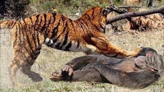 Thế giới động vậy ! Khỉ con đi lạc mẹ không may gặp hổ đói
