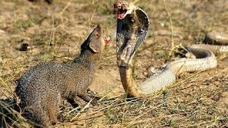snake vs mongoose real fight hd