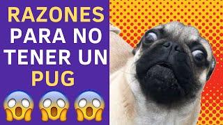 Descubre 7 Razones de por qué NO TENER un Pug