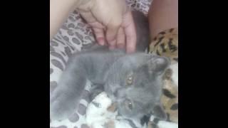 Шотландскому котёнку  3 месяца. Новый питомец