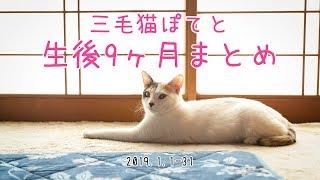 三毛猫ぽてと生後9ヶ月まとめ動画【高画質】