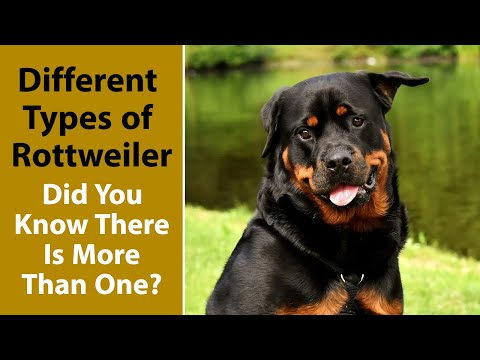 Different Types of Rottweiler: Did You Know There Is More Than One?