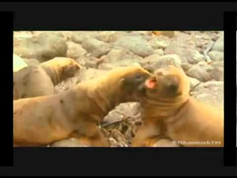 wolverine sabertooth seals funniest version bbc talking animals