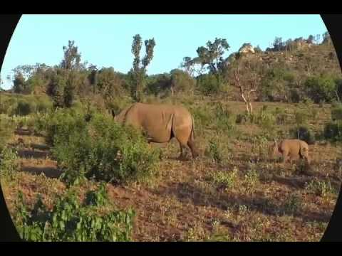 Lion(predator) Vs Rhino(prey)