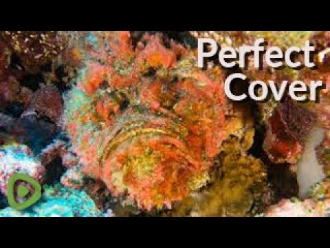 The World's Most Venomous Fish Has Perfect Camouflage