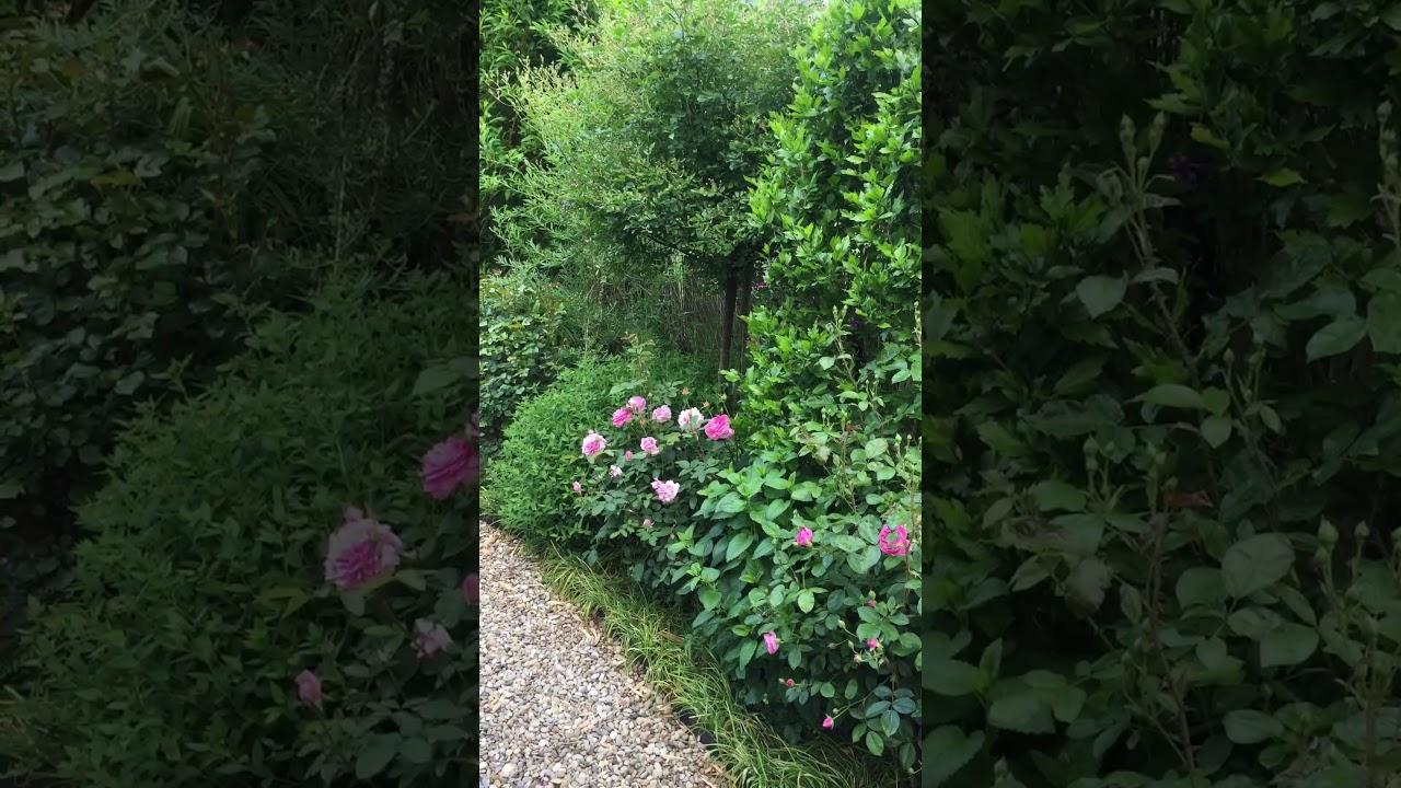 Englische Rose 'The Mayflower' im Schaugarten GALAROSA