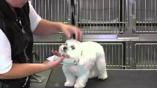 Maltese Short Puppy Trim Face-eyes