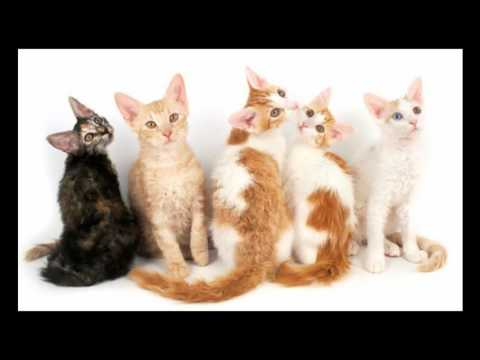 LaPerm Cat and Kittens | History of This Charming Breed