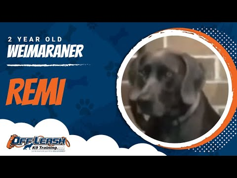 Remi, 2 year old Weimaraner | Best Large Breed Trainers Upstate NY | E Collar Training