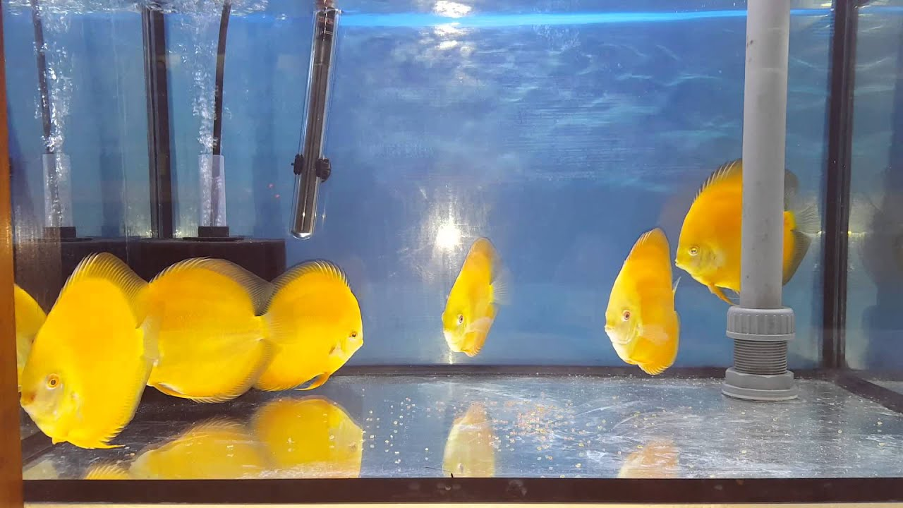 Discus yellow diamond the royal discus milano youtube for Vendita discus online