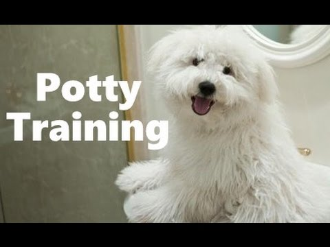 How To Potty Train A Puli Puppy - Puli House Training Tips - Housebreaking Puli Puppies Fast & Easy