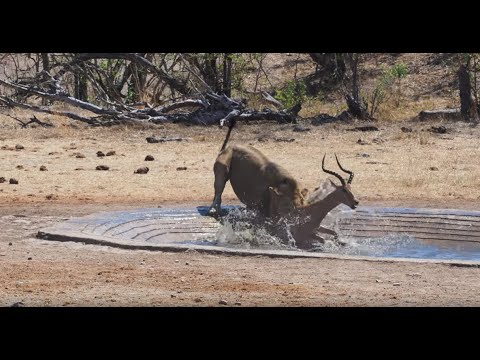 Opportunistic Lion Kill At De Laporte Waterhole - Kruger National Park - 18 October 2019