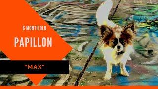 Max | 6 Month Old Papillon | Papillon Training Atlanta | Atlanta Dog Boot Camp