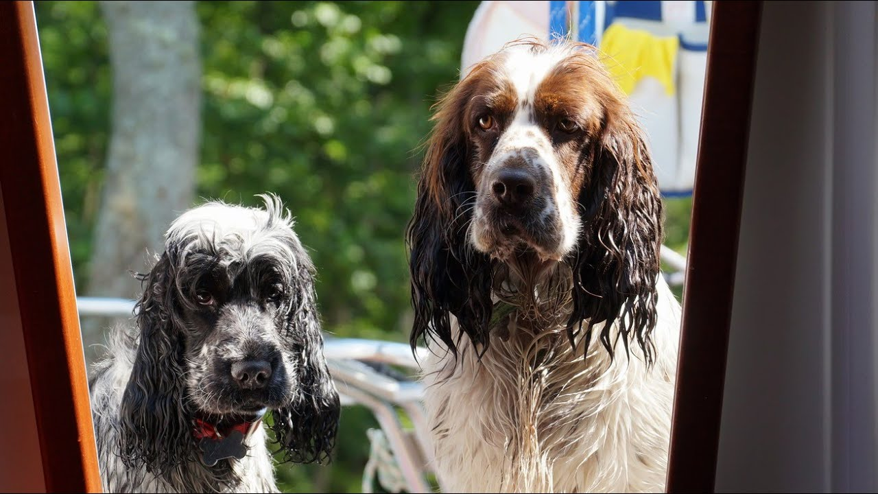 Springer Spaniel Cocker Spaniel Youtube
