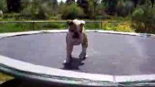 Jiggs The Bulldog - Jumping On Trampoline 2