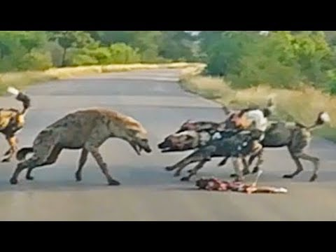 Battle Between Wild Dogs and Spotted Hyenas