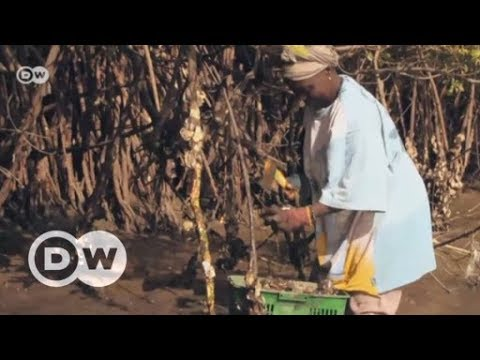 Gambia: Protecting mangroves using old oyster shells | DW English