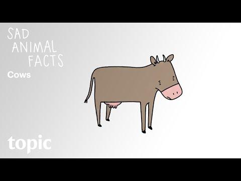 Sad Animal Facts: Cows