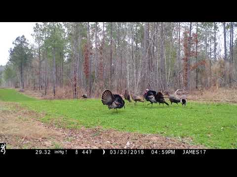 Wild Turkey Behavior 2018:  When there are only two bachelors...