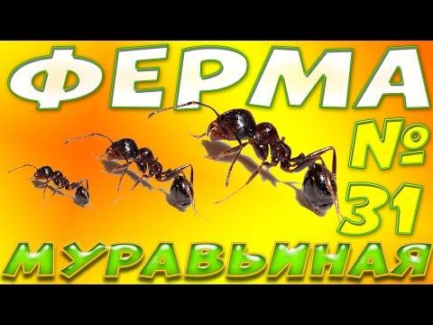 Каких размеров бывают муравьи, обзор и сравнение муравьёв.