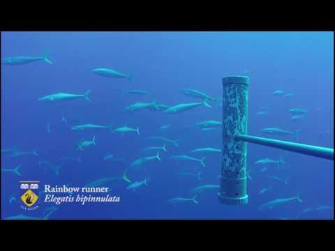 Clipperton Island - 2016 pelagic baited camera surveys