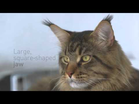 Maine Coon - Royal Canin hrana za mačke rase Mejn Kun