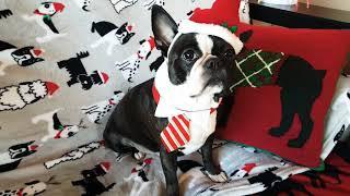 Cute Santa Dog Costume on Boston Terrier