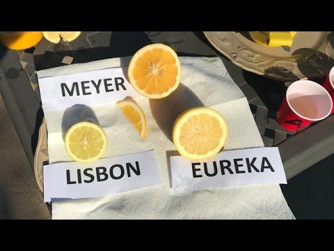 Meyer Vs Eureka Lisbon Taste Test 80 Of People Prefer The Lemon